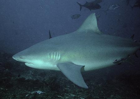 Bull Shark. (Wikipedia)