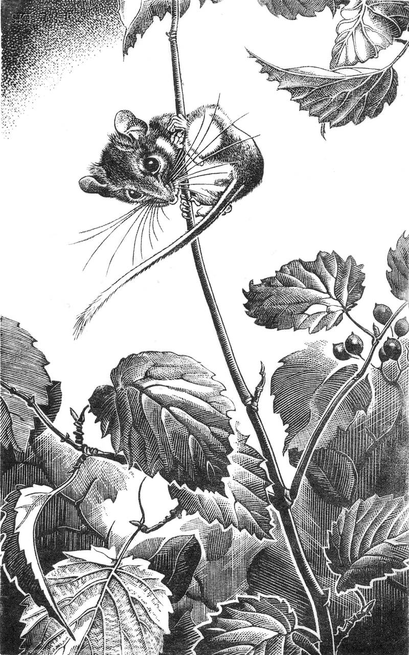 a Dorothy Pulis Lathrop illustration of a field mouse in nature