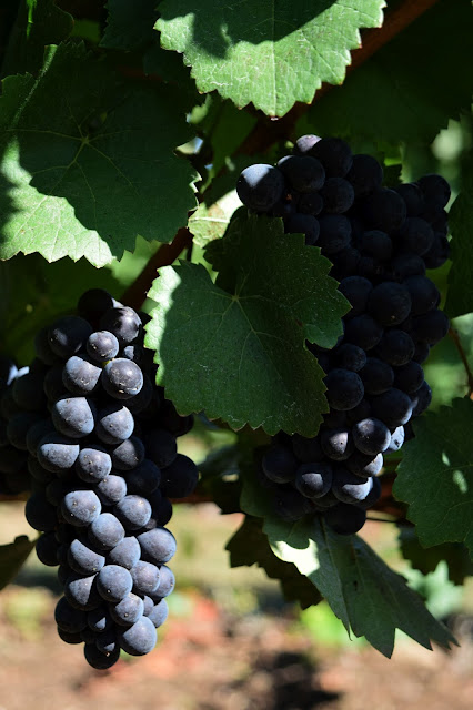wine grapes, oregon, willamette valley