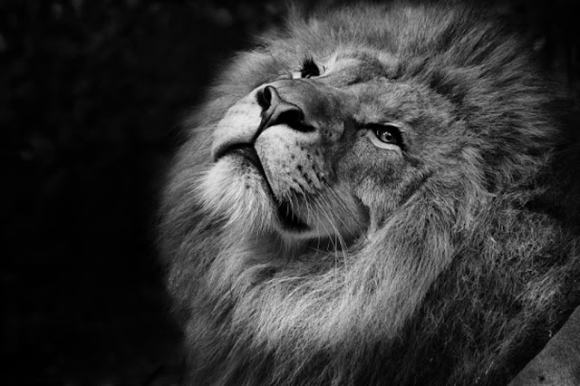 lion_wallpaper_hd