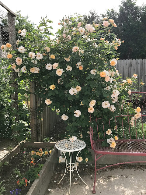 garden, roses, Above and Beyond Rose, Anne Butera, My Giant Strawberry