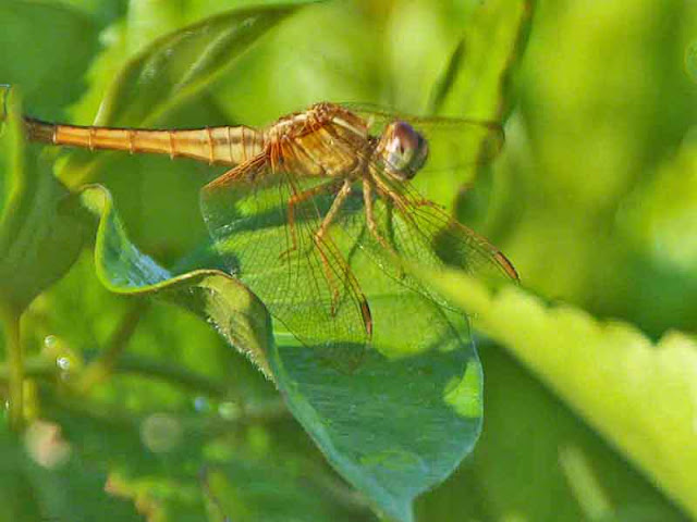 dragonfly, golden, Okinawa