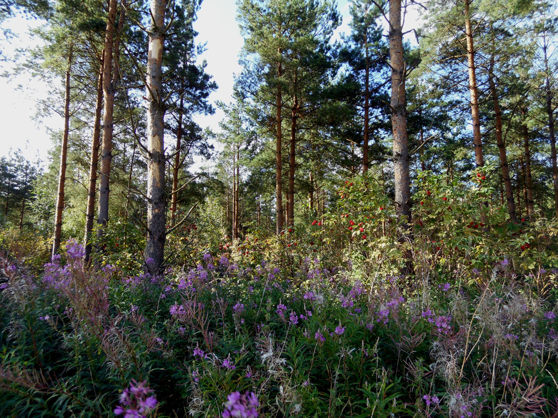 In un bosco di pini silvestri, 9 agosto 2016