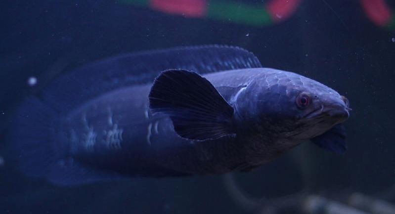 Channa Melanoptera - 50 Jenis Ikan Channa Besera Harga Terbarunya