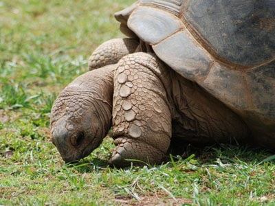 World s Oldest Tortoise Years Adwaita