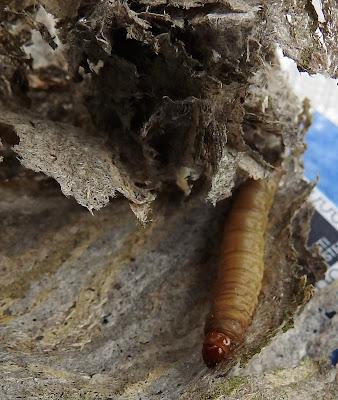 toukka, vieraslaji ampiaispesässä,