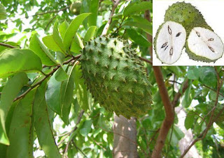 All About Cancer: Soursop Leaves as Alternative Cancer Treatment