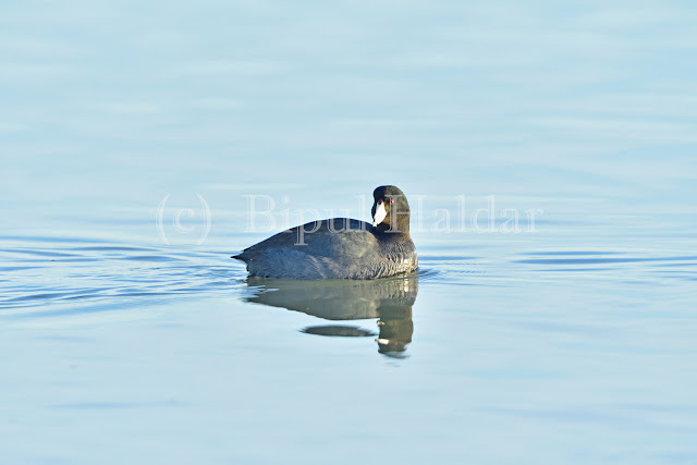An American Coot Resting on Water