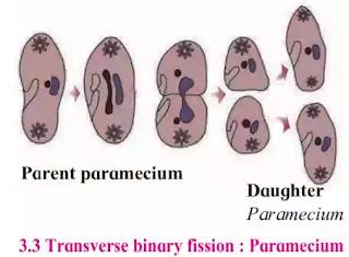 Transverse binary fission