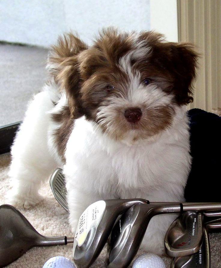 Havanese & Coton de Tulear, AKC, Havanese Puppy
