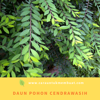 Daun Pohon Cendrawasih
