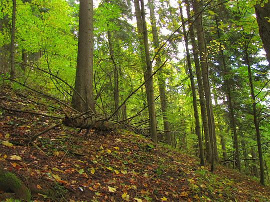 Leśny stok Sokolicy.