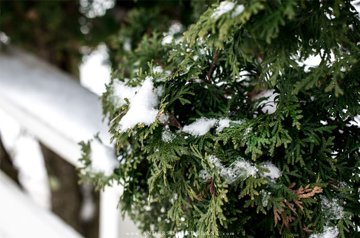 Closeup of arborvitae with snow