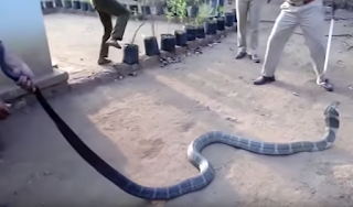 Video Penyelamat Satwa Beri Minum King Kobra Dengan Botol