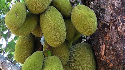 buah nangka muda
