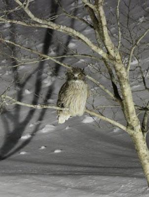 Blakiston´s Eagle owl