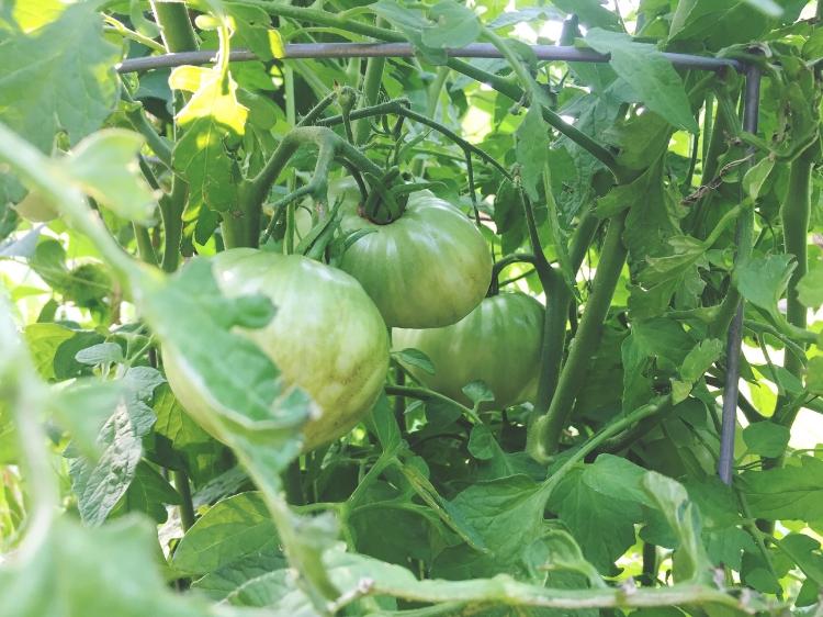 Tomatoes on the vine // Zone 6 & 7 Garden Tasks for August // www.thejoyblog.net