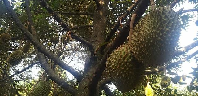 Jual kebun durian