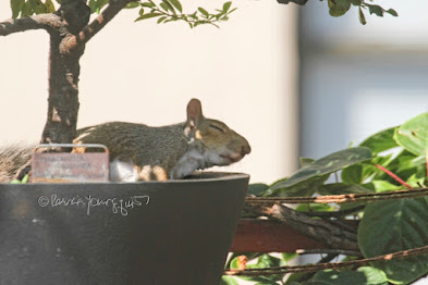 "This is a photograph features another view of the squirrel sitting in the container that is housing a shrub in my rooftop garden. He/she is taking a nap. My garden is the setting for my three volume book series, ""Words In Our Beak.""  (Info re the books is within a post on my blog @ https://www.thelastleafgardener.com/2018/10/one-sheet-book-series-info.html). Squirrels are not featured in  these books, but I have published info re them within other entries on this blog (@ https://www.thelastleafgardener.com/search?q=Squirrels)."