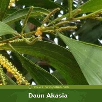 ciri ciri pohon tanaman akasia
