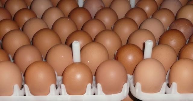 Uova fertili da incubare