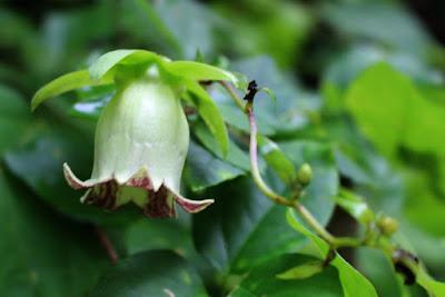 ツルニンジンの白っぽい花