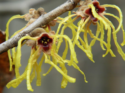 "Hamamelis x intermedia ""Arnold Promise"" witch hazel flowers by garden muses: a Toronto gardening blog"