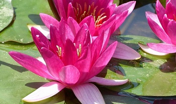 Floating Leaved Aquatic Plant: Water Lily
