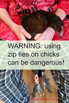 zip tie injuries in chickens, wounded leg