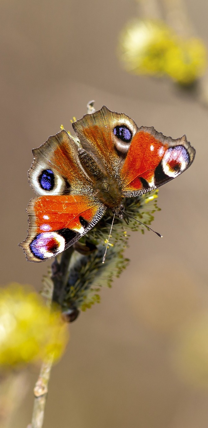 Beautiful peacock butterfly.