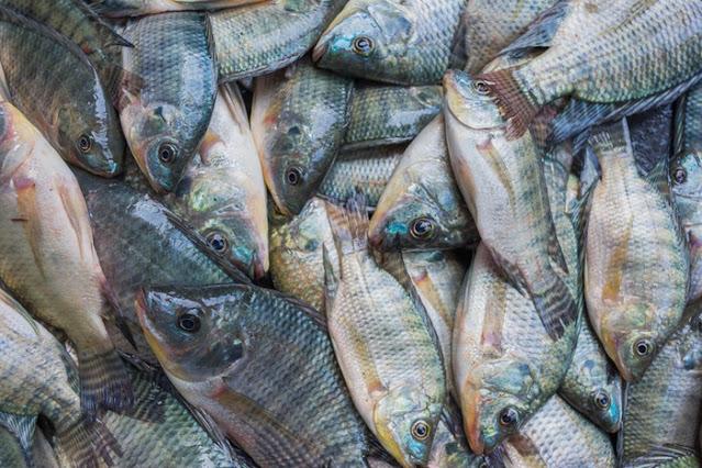Cari Informasi Supplier Jual Ikan Nila Bibit dan Konsumsi di Banjarmasin, Kalimantan Selatan