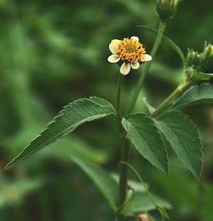 Tanaman ajeran ialah tanaman gulma yang sering kita jumpai disekitar kita Manfaat dan Khasiat Tanaman Ajeran ( Bidens Pilosa L)