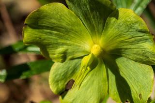 [Ranunculaceae] Helleborus niger – Christmas rose