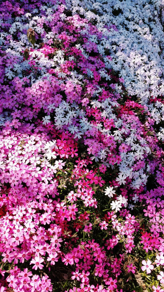 A sea of small pink and purple flowers.