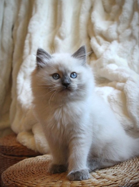 Cat photography, baby ragdoll, pretty kitten, kitten photography