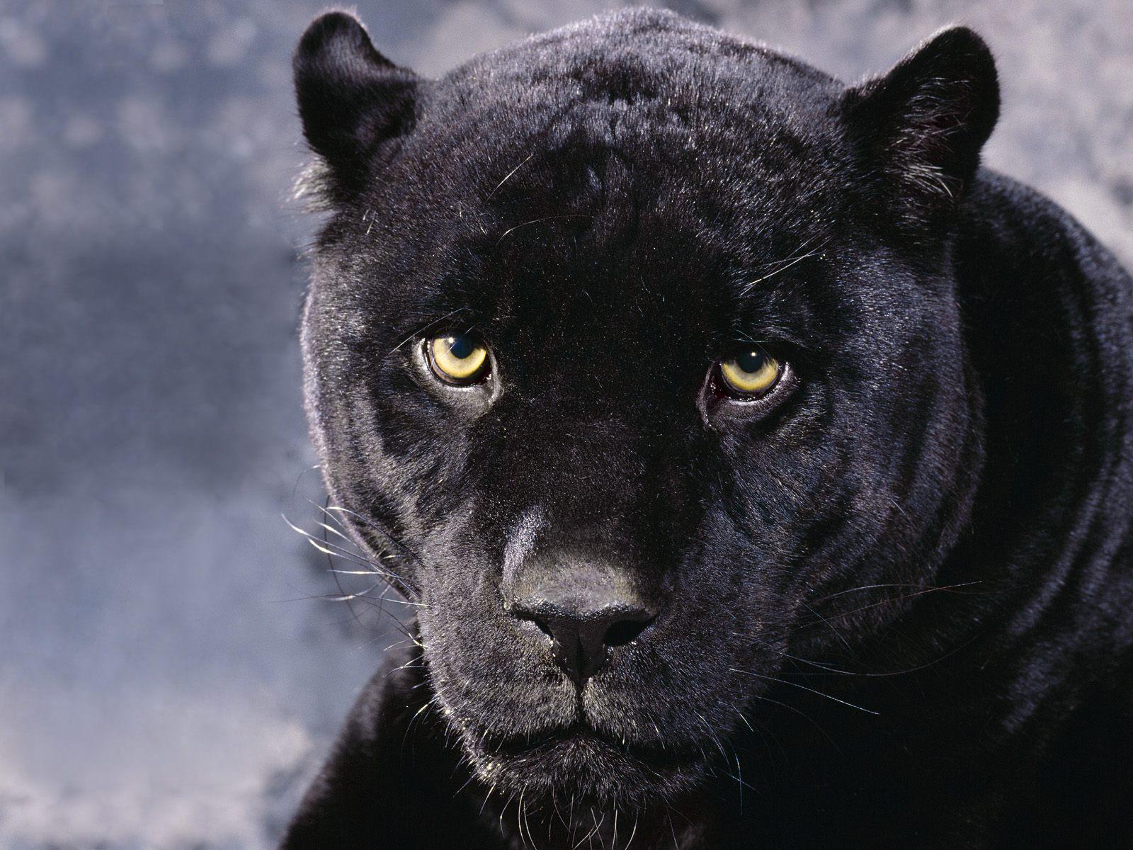 Big Black Panther Wallpaper - Hd Wallpapers-2704