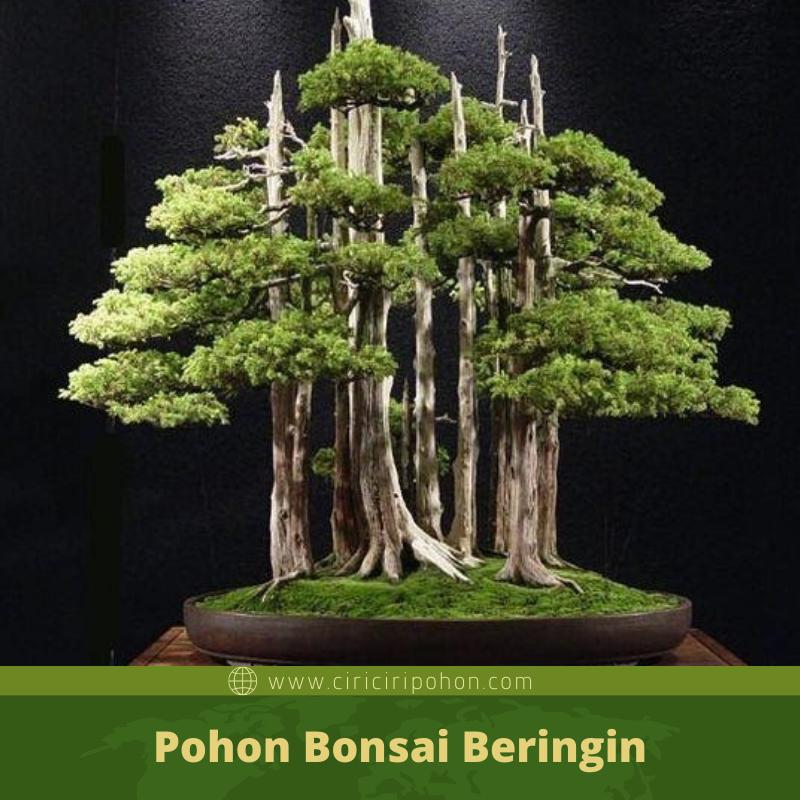 Mengetahui Istilah Dalam Dunia Bonsai Penting Bagi Pecinta Bonsai Beringin Ciriciripohon Com