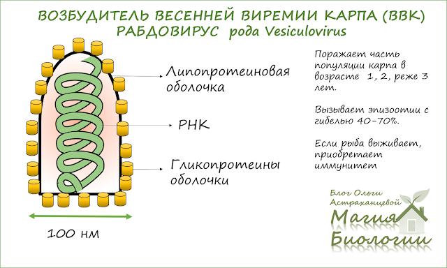 эпизоотия-краснуха-карпа-ВВК-магия-биологии-рабдовирус