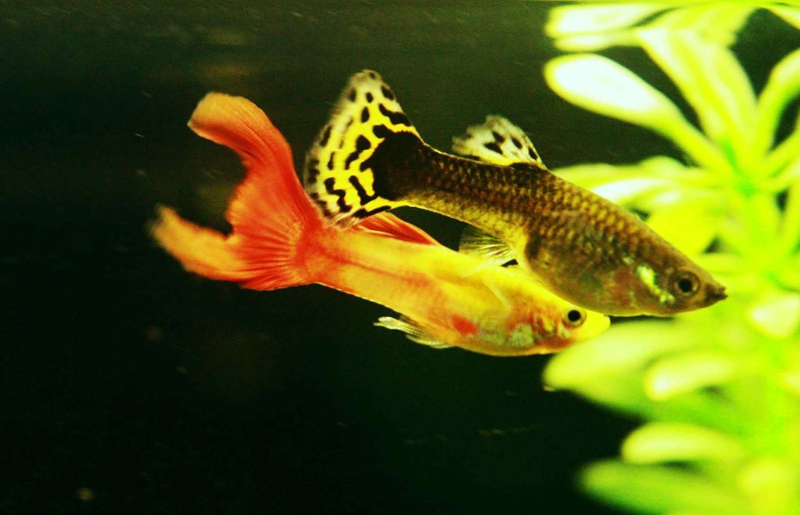 Best And Helpful Tips To Care Guppy Fish In Aquarium