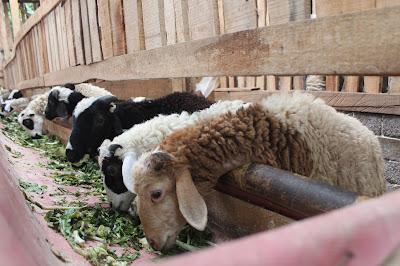 hewan ternak sedang makan pakan hijau ternak