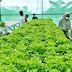Pandemi Berbuah Manis Bagi Pengusaha Sayur Hidroponik di Desa Pantianom Bojong
