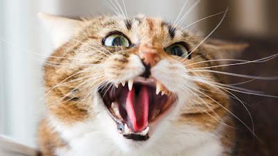 11 razones por las que tu gato te ataca de repente