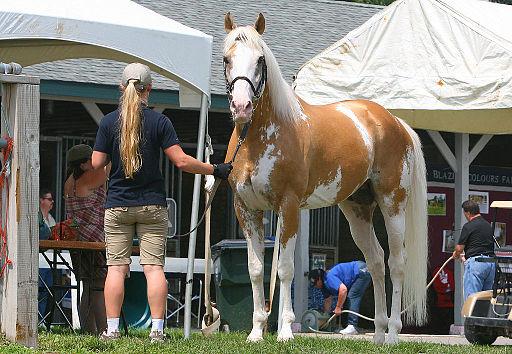 سعرخيول ثوروبريد للبيع