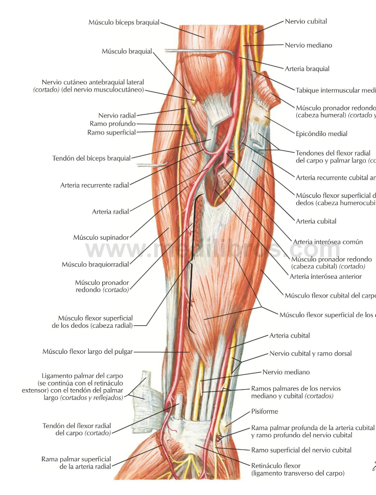 Resumenes Medicina: Region Antebraquial Anterior