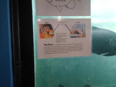 ikan pacu sedara piranha