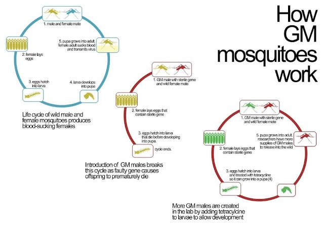 informasi virus zika - infografik perkembangan virus zika