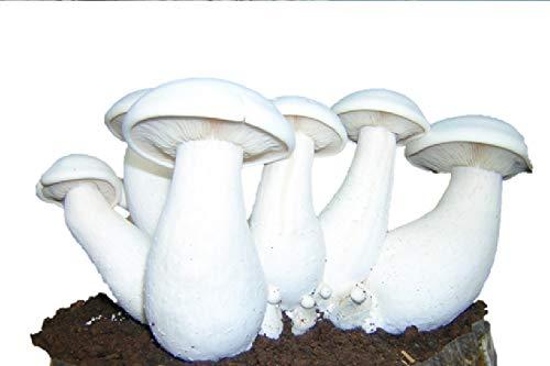 Milky mushroom vs button mushroom | Comparison between button mushrooms and milky mushrooms