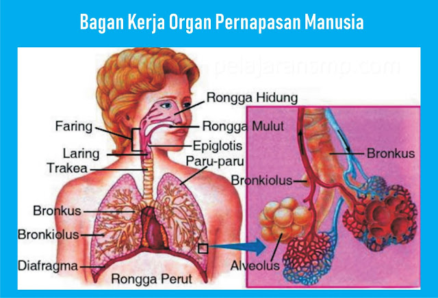 bagan kerja organ pernapasan manusia