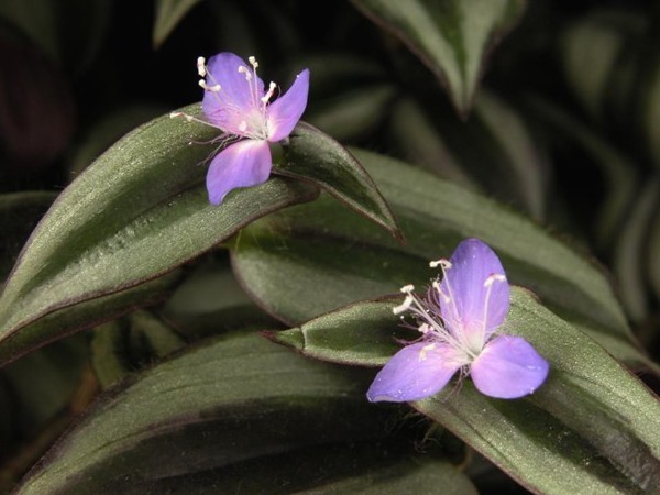 6 Manfaat Rumput Belang Atau Zebrina Untuk Kesehatan (Tips)