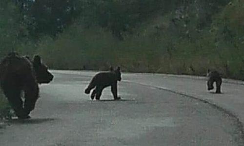 Ανατολικό Ζαγόρι… Στους δρόμους των πανέμορφων χωριών του. Νωρίς το πρωί του Σαββάτου! Η αρκούδα με τα δύο μικρά της κάνουν την δική τους βόλτα!